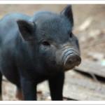 "A ""Pig in a Poke"""